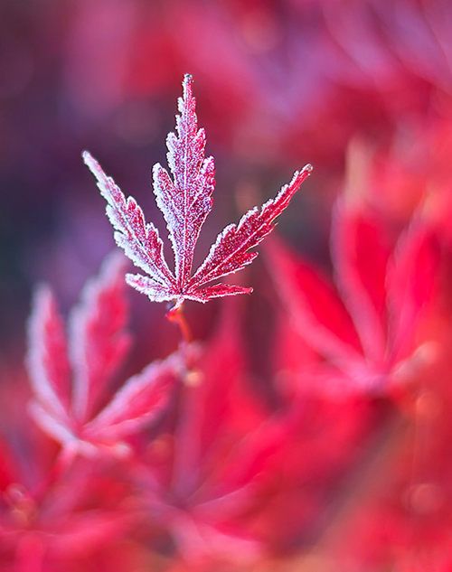 Frost on red leaf.