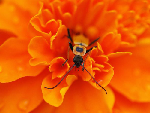 Insect in orange flower.