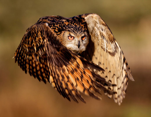 Owl in flight.