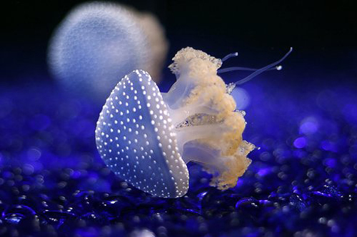 Small jellyfish.