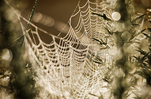 Spider web covered in dew.